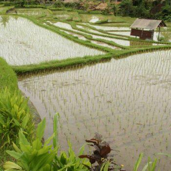 Bali, Le risaie di Ubud